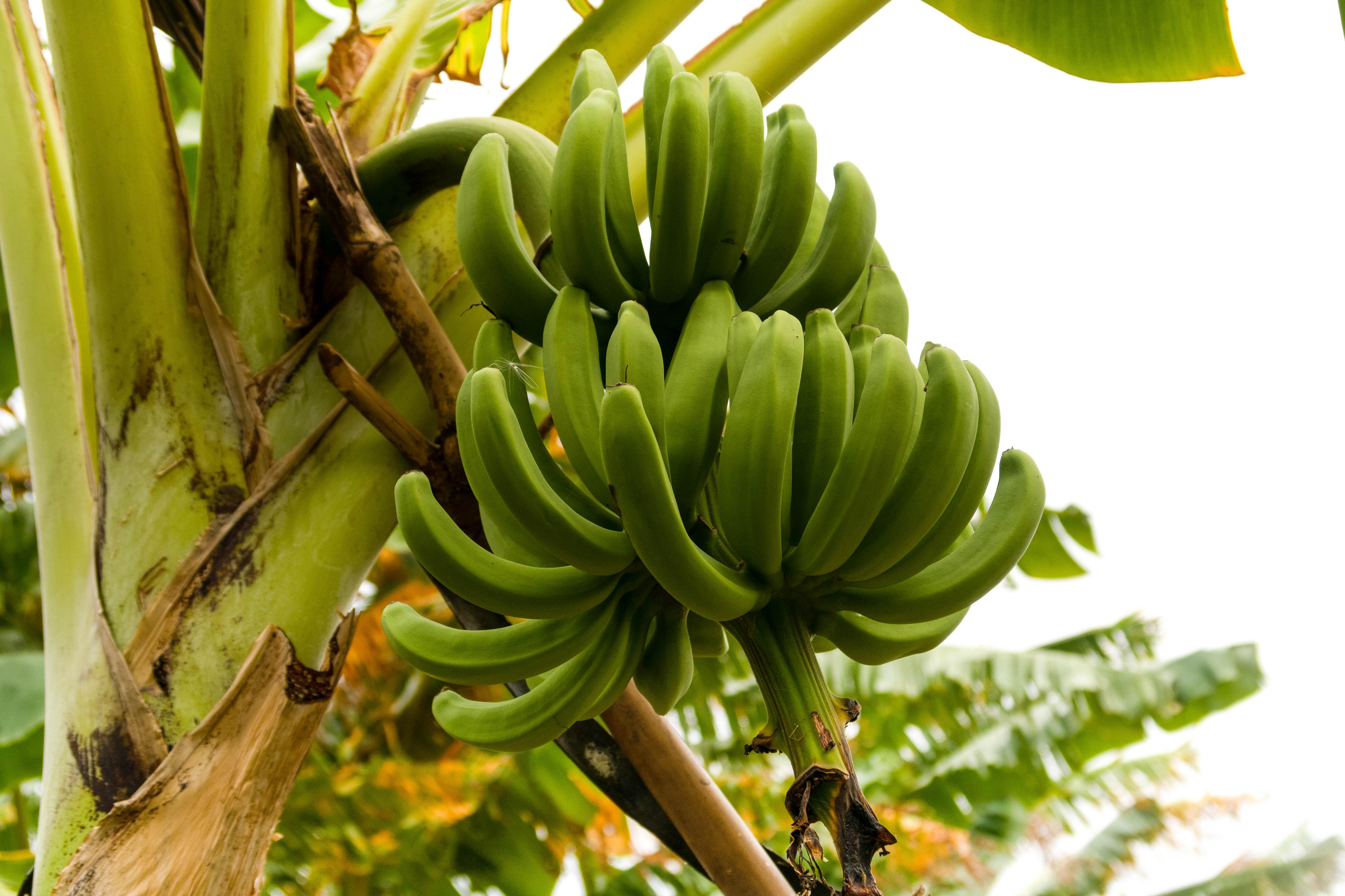 Bananes sur arbre - FRUITS & LÉGUMES