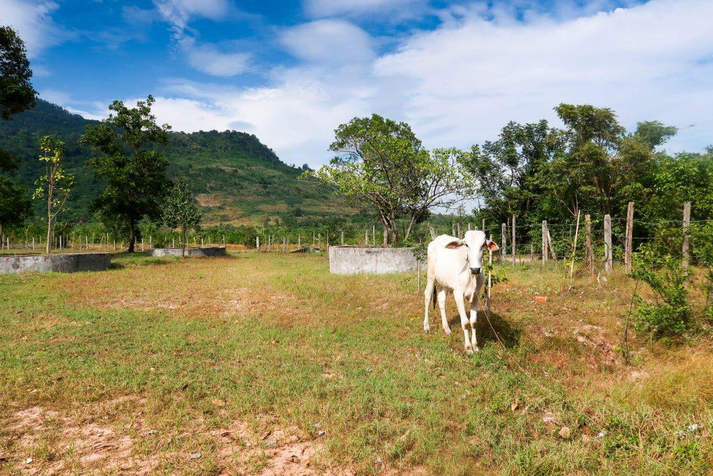 Vache montag ne 1024x683 - ASIE DU SUD-EST